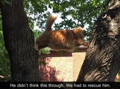 Fat cat stuck between two trees. I. Can't. Stahp. Laughing!