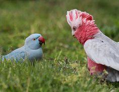 A Galah cockatoo (Eolophus roseicapilla) converses with an escaped non-native Blue phase Ring-Necked Parakeet (Psittacula krameri), Central Coast, NSW, Australia.  (Photos by Christina Port)