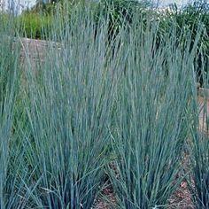 "Little Bluestem Prairie hybrid perennial grass. Foliage is intense blue turning purple in the fall. Flowers late summer, ht of 24-36"""