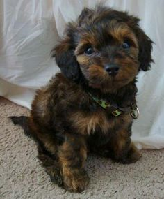 Doxiepoo Information and Pictures. The Doxiepoo is not a purebred dog. It is a cross between the Dachshund and the Poodle Poodle Mix Puppies, Cute Puppies, Cute Dogs, Dogs And Puppies, Doggies, Teacup Puppies, Poodle Mix Breeds, Bear Dogs, Awesome Dogs