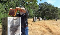 Sonoma County beekeeper Serge Labesque's adaptations include leaving hives unpainted and using fewer frames so bees can build comb as they would in the wild. Photo: Lance Iversen, The Chronicle