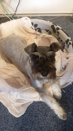 Magic the Mini Schnauzer doesn't want to go for walkies just yet!