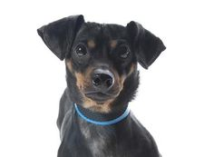Adopt Maui, a lovely 2 years  1 month Dog available for adoption at Petango.com.  Maui is a Dachshund, Miniature Smooth Haired / Mix and is available at the National Mill Dog Rescue in Colorado Springs, Co. www.milldogrescue... #adoptdontshop #puppymilldog #rescue #adoptyourfriendtoday
