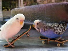 — BIRDS ON SKATEBOARDS!! I need to train mine to do this...