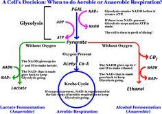 Comparisonofaerobicandanaerobicrespirationg 960720 aerobic and anaerobic respiration nice big picture diagram anna totten totten b remind you ccuart Gallery