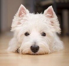 Cute West Highland Terrier Dog