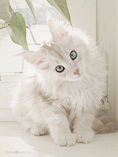 White Maine Coon - February 2019 - We Love Cats and Kittens - Funny Animals Pretty Cats, Beautiful Cats, Animals Beautiful, Pretty Kitty, Simply Beautiful, Gatos Maine Coon, Maine Coon Cats, Animals And Pets, Baby Animals