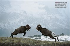 Counting Sheep magazine layout - big horn sheep battle