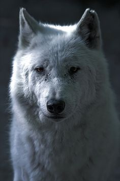 Snow, The White Wolf! by David Guéret