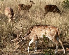 Spotted Deer Family by cowyeow, via Flickr