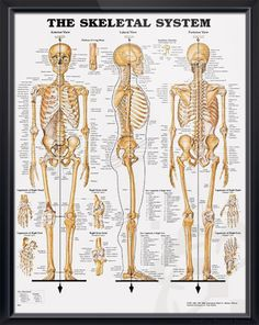 Skeletal System anatomy poster shows anterior, lateral and posterior views of the human skeletal system. Skeleton chart for doctors and nurses.