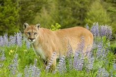 Mountain Lion...Cougar They will stalk you and eat you! :( hehehehe