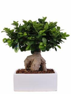 Le Migliori 10 Immagini Su Bonsai Ficus Ginseng Ficus Piante Tropicali Piante