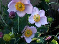 Japanese Anemones by blu butterfly