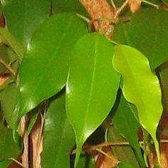 1. Экзотика, Exotica — зеленые листья со слегка волнистым краем: