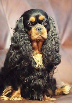 Elegant Black and Tan Cavalier King Charles Spaniel