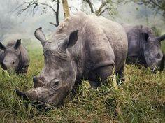 Fotografia di Stefane Berube, National Geographic Your Shot  Un esemplare di rinoceronte bianco in via di estinzione,  Ziwa Rhino Sanctuary in Uganda.