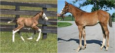 White-faced colt by BODEMEISTER o/o Out For Revenge (left) next to Bode as a foal- Bode clearly marking his foals!