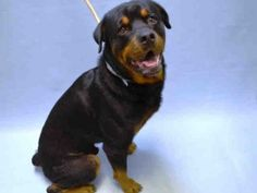 BUZZ - #A1056313 - Urgent Brooklyn - MALE BLACK/BROWN ROTTWEILER MIX, 4 Yrs - STRAY - ONHOLDHERE, HOLD FOR ID Intake Date 10/29/15 Due Out 11/05/15