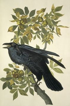 I love ravens -- their voices are nothing like the crow's ~
