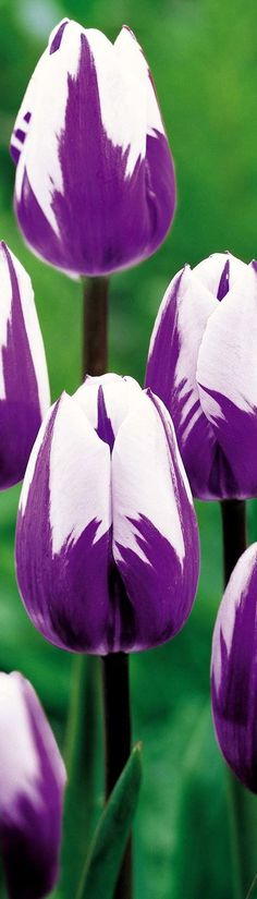 "White Purple Tulips (^.^)♥♡♥♡♥ Thanks, Pinterest Pinners, for stopping by, viewing, re-pinning, following my boards. Have a beautiful day! and ""Feel free to share on Pinterest..^..^ #nature #organicgardenandhomes                                                                                                                                                      More"