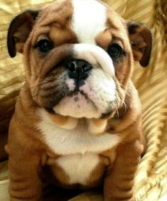 10 Most Loyal Dog Breeds of All times ~ The Pet's Planet