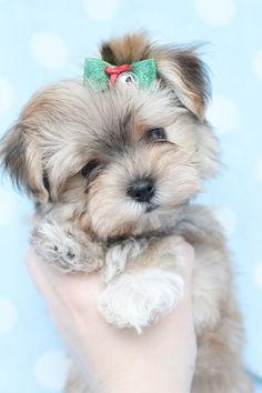 Adorable Morkie (Maltese/Yorkie X) puppy at TeaCups and Puppies Boutique. Morkie Puppies For Sale, Teacup Puppies, Cute Dogs And Puppies, Little Puppies, Little Dogs, I Love Dogs, Teacup Morkie, Poodle Puppies, Lab Puppies