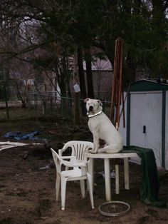 Ace thinking he is King of the yard...he got in trouble for being on the table he is my troubled child