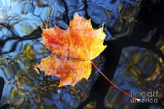 Autumn Leaf On Water Desktops | Autumn Leaf On The Water Photograph