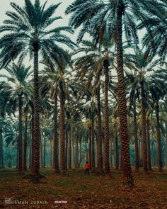 Marvellous photography of Date Palm 🌴 trees 🌲 at Khairpur Mirs Sindh Pakistan