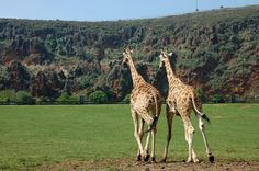 cabarceno Giraffe, Places, Animals, Parks, Naturaleza, News, Hipster Stuff, Animales, Felt Giraffe