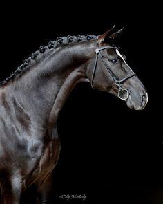 Gorgeous black horse