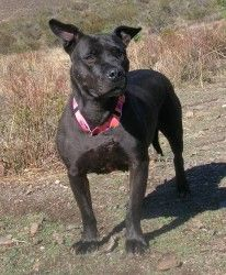 LADYBUG is an adoptable Pit Bull Terrier Dog in New Orleans, LA. This gal has won my heart. I absolutely adore her. She is the true story of survival. Police raided the property she was on and when th...