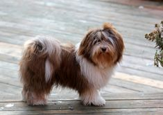 Image result for havanese long puppy cut