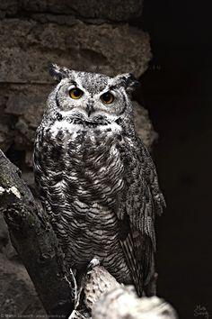 Owl My Photos, Owl, Bird, Animals, Pictures, Animales, Animaux, Owls, Animais