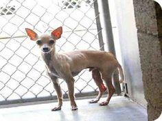 Mesa, AZ - Chihuahua. Meet CASH a Dog for Adoption.