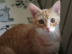 """Simba was born April 13, 2012.   He came to LIFE House as a kitten with his brothers, Pumba and Timone.  He has taken over the """"daddy"""" role with new kittens who are being introduced to the other cats at the shelter.  He watches over the kittens,..."""