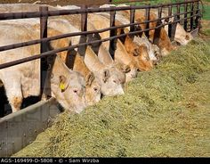 Livestock - Charolais beef cattle feeding on haylage chopped hay ...