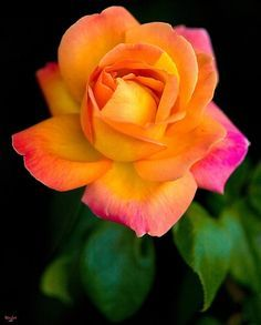 Gorgeous rose!