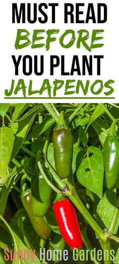 Tips and how to grow jalapenos in your backyard garden. These hot peppers are delicious and perfect for growing from seed in your vegetable garden. - How to Grow Jalapenos in your Backyard Garden Growing Jalapenos, How To Grow Jalapenos, Growing Peppers, Vegetable Garden Tips, Pot Plante, Olive Garden, Organic Gardening Tips, Herb Gardening, Organic Gardening