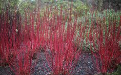 Red barked Dogwood, once the leaves have fallen, the new stems are as red as Santa's coat and sparkle in the watery winter light.
