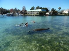 "<a href=""http://www.onlyinyourstate.com/florida/crystal-river-resort-fl/"" target=""_blank"">2. Swim with manatees in Crystal River. </a>"