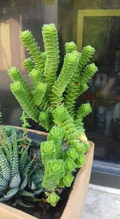Crassula somethingorother