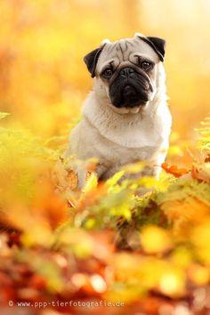 Autumn pug