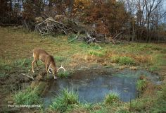 5 Watering Habits of Mature Deer http://realtr.ee/9hs A crucial part of the hunt!
