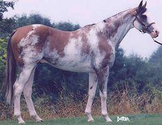 Dominant White - Puchingui, sire of many modern dominant white TBs. Puchi is typical of moderately marked dominant whites.