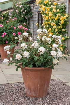 Roses in pots can bring character and interest to the garden when placed at… Container Flowers, Flower Planters, Flower Pots, Rose Bush Care, Austin Rosen, David Austin Roses, Planting Roses, Small Rose, Rose Cottage