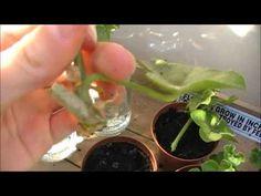 ▶ Two methods for Geranium (aka Pelargonium) Cuttings - YouTube