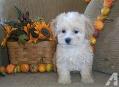 ADORABLE SHIHPOO SHIH TZU POODLE PUPPIES for Sale in Fort Madison, Iowa Classified | AmericanListed.com
