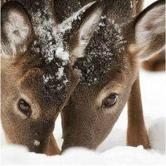 Deer eating in the snow...